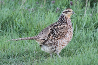 Reeve's Pheasant, Cockley Cley 19th April