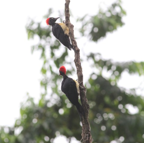 Simeulue Woodpecker