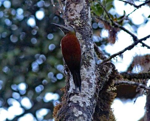 Sumatran Woodpecker