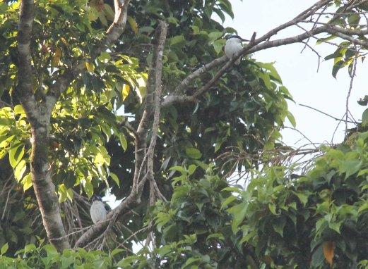 White-mantled Kingfisher