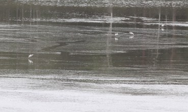 Avocet, part of a flock of 24 at Leziate on 16th May