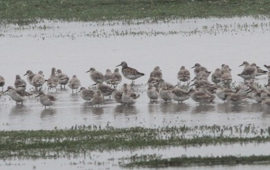 Great Knot, Titchwell 16th June