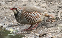 Red-legged Partridge, Cockley Cley 30th May