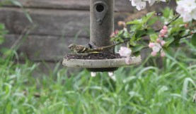 Siskin juvenile, Cockley Cley 10th May