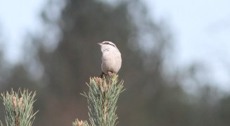 Great Grey Shrike, Cockley Cley 21st March