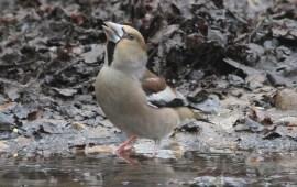 Hawfinch, Lynford 15th March