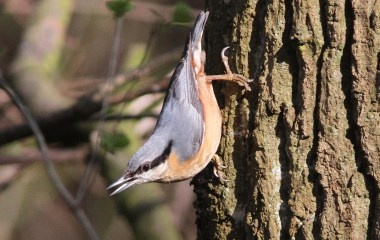 Nuthatch, Cockley Cley 12th March