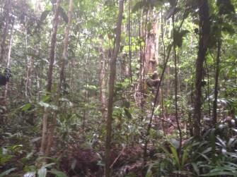White-masked Antbird habitat