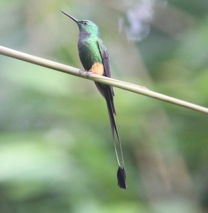 Rufous Booted Raquet-tail