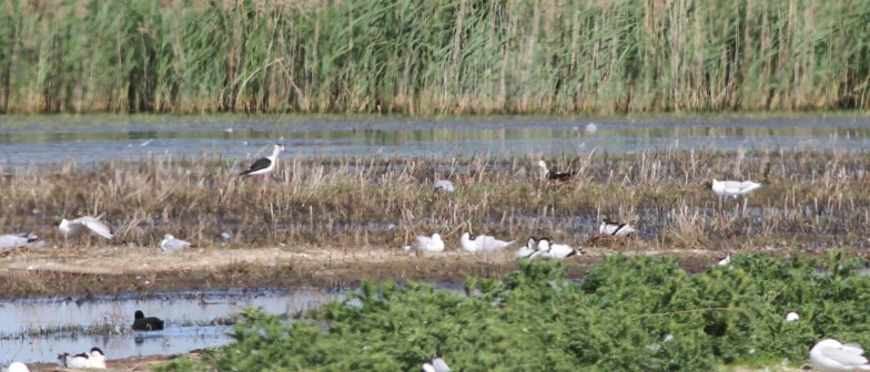 Black-winged Stilts, pair at the nest , Potter Heigham 28th May
