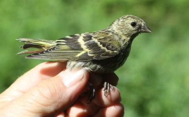 Siskin, immature Cockley Cley 27th May