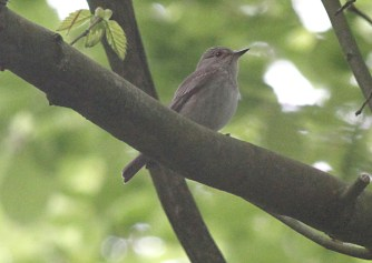 Spotted Flycatcher, Cockley Cley 13th May