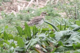 Stone Curlew, Gooderstone Warren, 13th May