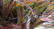 Orange-banded Flycatcher