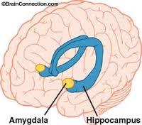 Amyg:hippo