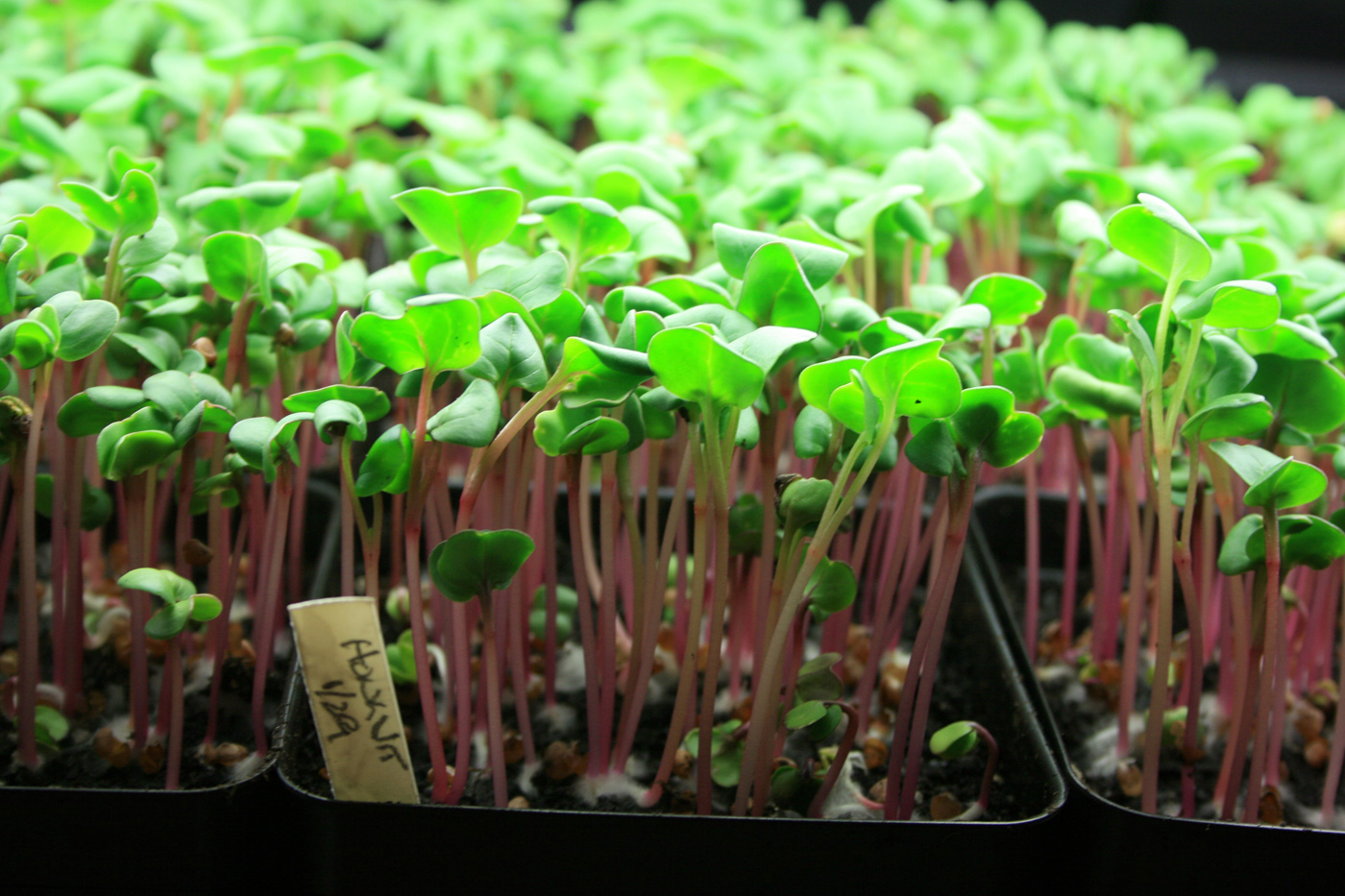 Enjoy Healthful Microgreens Grown Year-Round