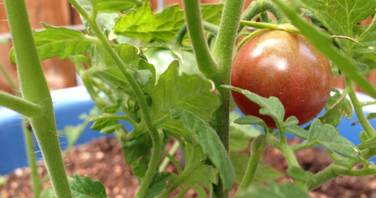 My First Tomato Plant