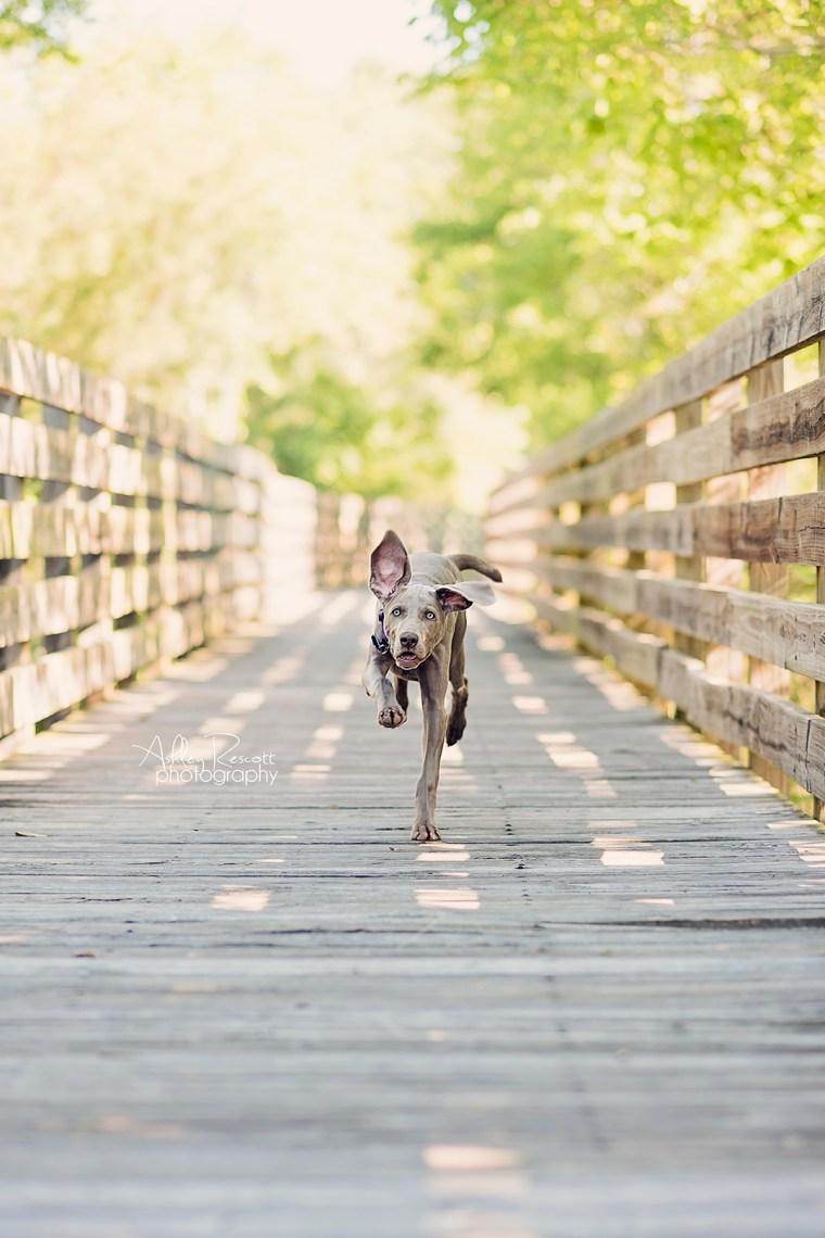 running weimaraner puppy