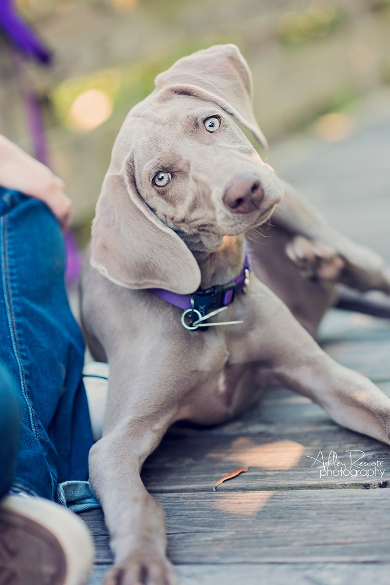 weimaraner puppy making funny face