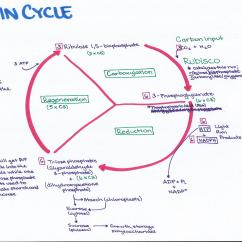 Calvin Cycle Diagram 2006 Gmc Stereo Wiring Rubisco Free Engine Image