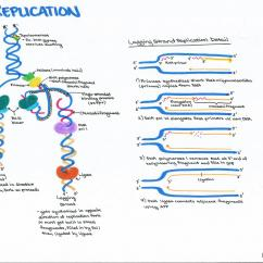 Simple Diagram Of Dna Replication Uml Class Generalization Example Meiosis Process Transcription