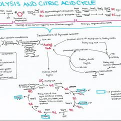 Glycolysis And Krebs Cycle Diagram Chevy Western Plow Wiring Cell Biology Study Guides Ashley 39s