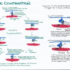 Explain Water Cycle With Diagram Obd0 Ecu Wiring Animal And Plant Homeostasis Physiology Study Guides | Ashley's Biology