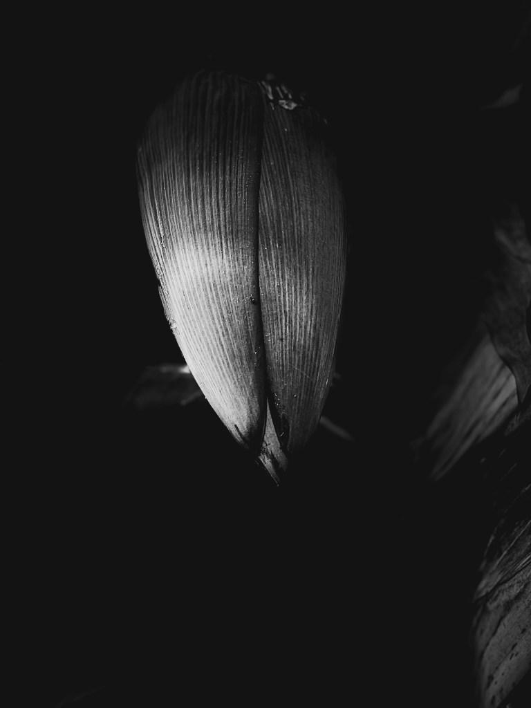 Black and white photo of banana tree