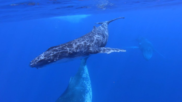photo of a mom, baby, and male humpback whale in french polynesia