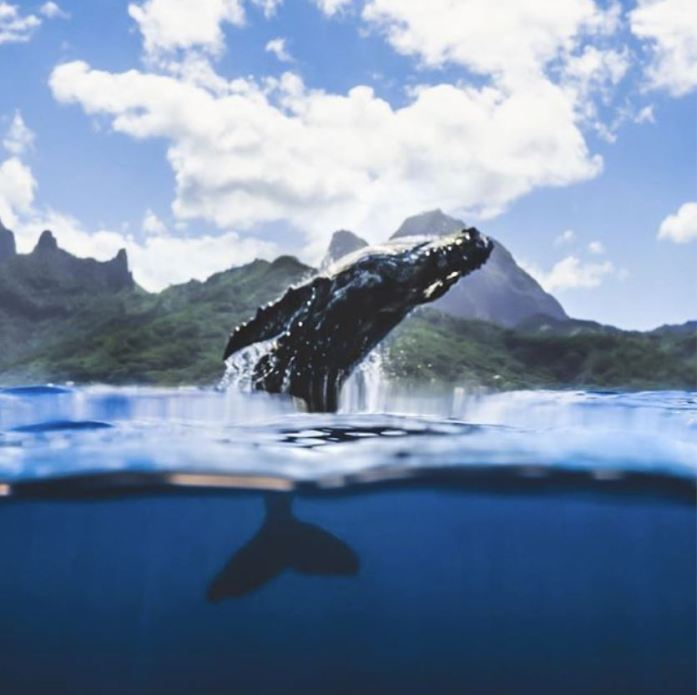 baby humpback whales jumping out of the water