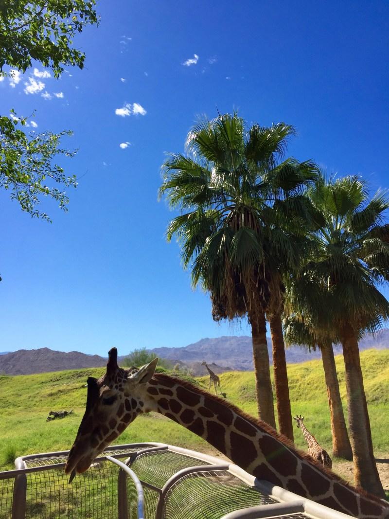 living desert zoo giraffe
