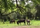 Donkeys at 26th Lock