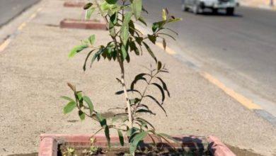 Photo of امانة بغداد زراعة اشجار القرنفل بشارع وزارة الخارجية