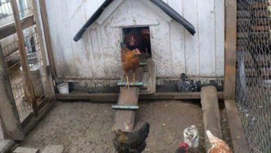 Photo of هذا ما ضبطته الجهات المعنية في اربيل ببيت متهالك للدجاج والطيور .. والمفاجئة هي !