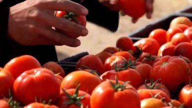 Photo of تحقيق اعلى مستوى لإنتاج و تسويق محصول الطماطم العالية الجودة  منذ أعوام في قضاء الزبير