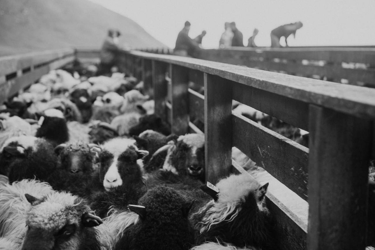 sheep herding Faroe Islands