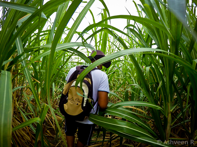Climbing Lion Mountain - Through the Cane Fields