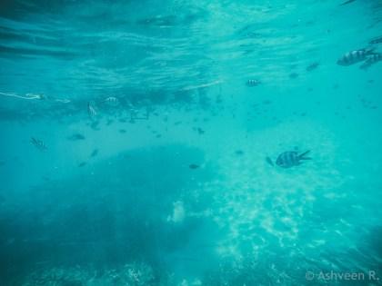 Snorkeling Blue Bay Marine Park - Baracuda Fish