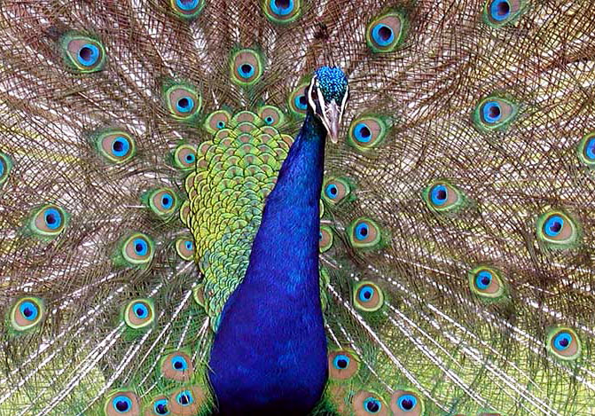 A close up image of a peacock with its tailfeathers open.