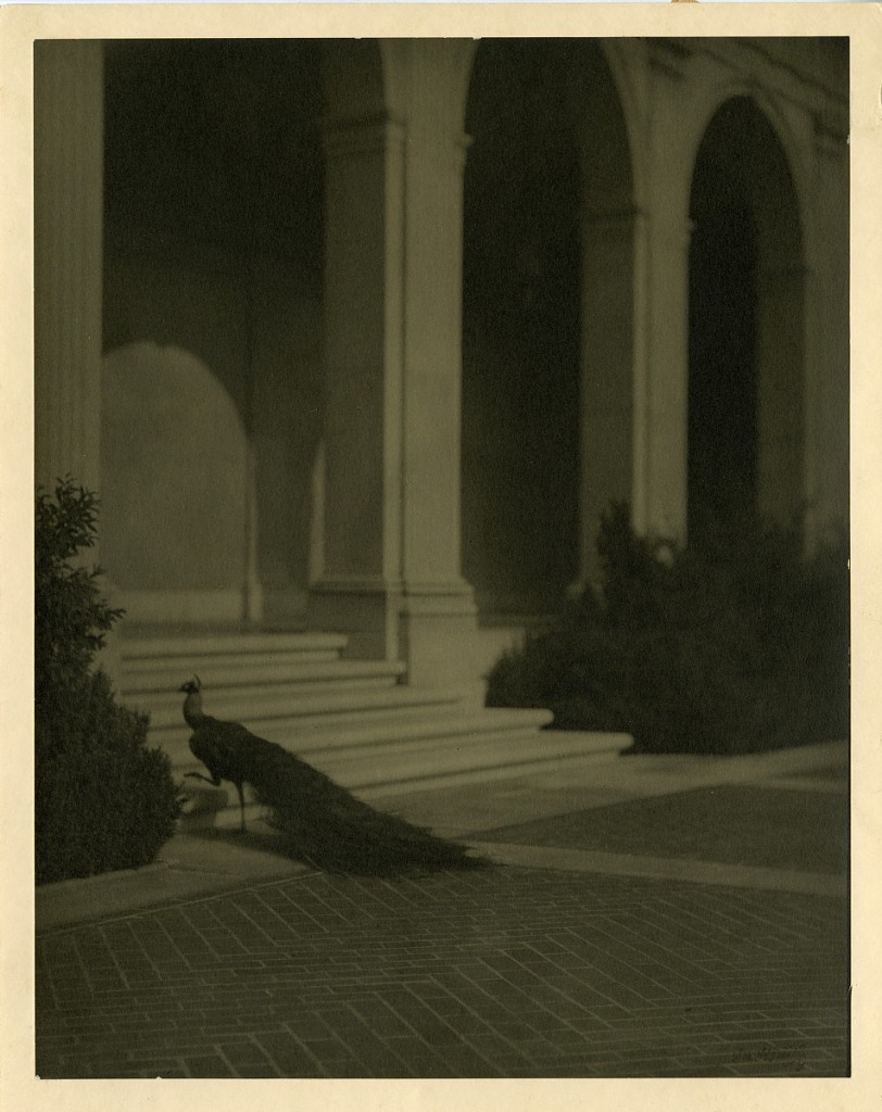 Peacock in Freer Gallery of Art Courtyard, archival photo in sepia tone, ca. 1923