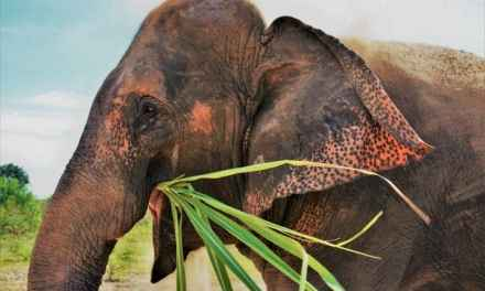 Elephant Sanctuary In Thailand – A Volunteering Experience