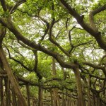 The great banyan tree (ficus benghalensis) in the botanical garden is believed to be over 250 years old