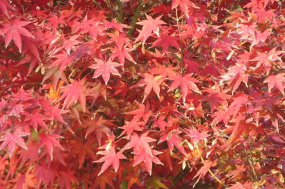 The maples have starting turning red