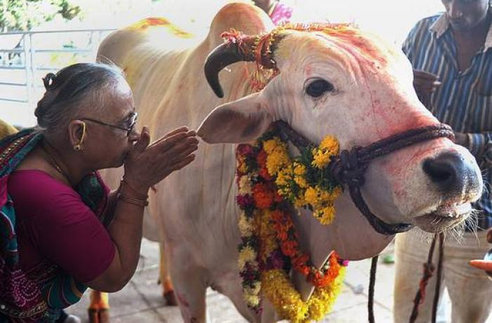 Image result for sacred cows in india images