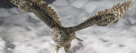 Blakiston's fish owl  (Wikimedia Commons)