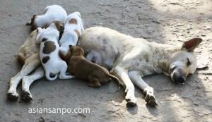 ミャンマー タウングーの犬