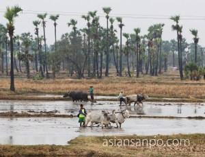 ミャンマー シュエボーーカレイワ 牛