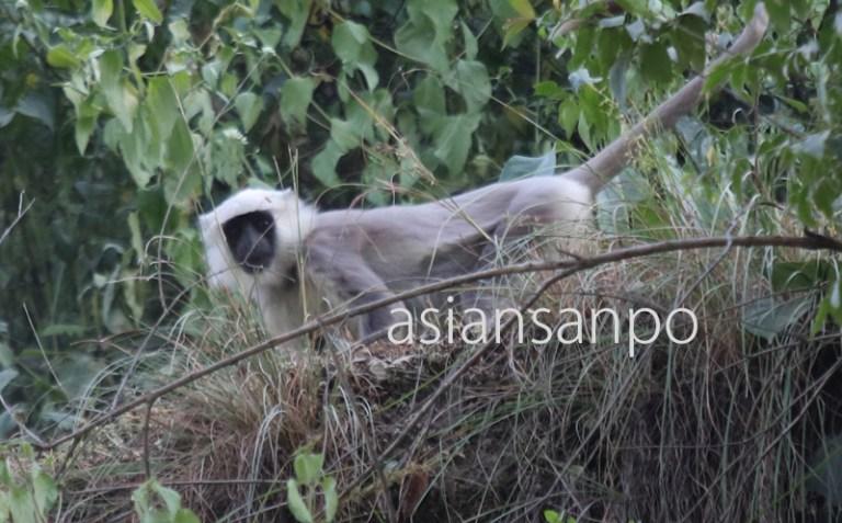 ネパール サル