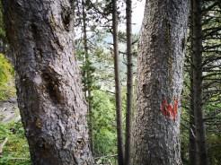 Oznakowanie szlaku w Andorze, na drzewie - czerwony symbol głuszca