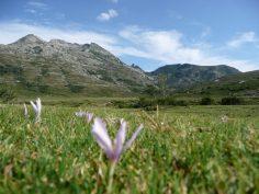 Korsyka, to góry i rozległe górskie łąki